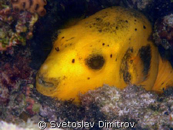 yellow pufferfish. Olimpus Miju 700, no strobe by Svetoslav Dimitrov